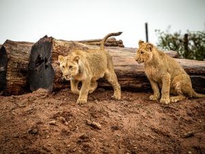 lion-1544990_1920